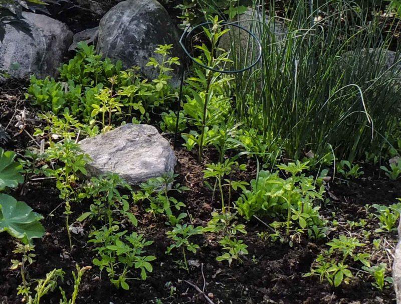 Cleome frøplanter20_