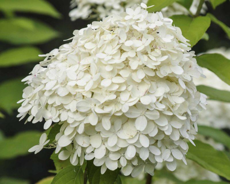 white hydrangea_