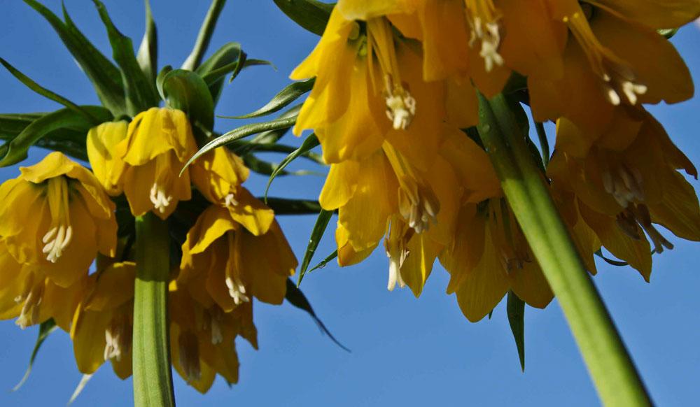 Keiserkrone, Fritillaria imperialis.