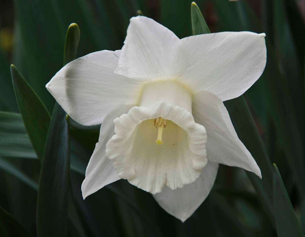 "Narcissus ""Mount Hood""_"