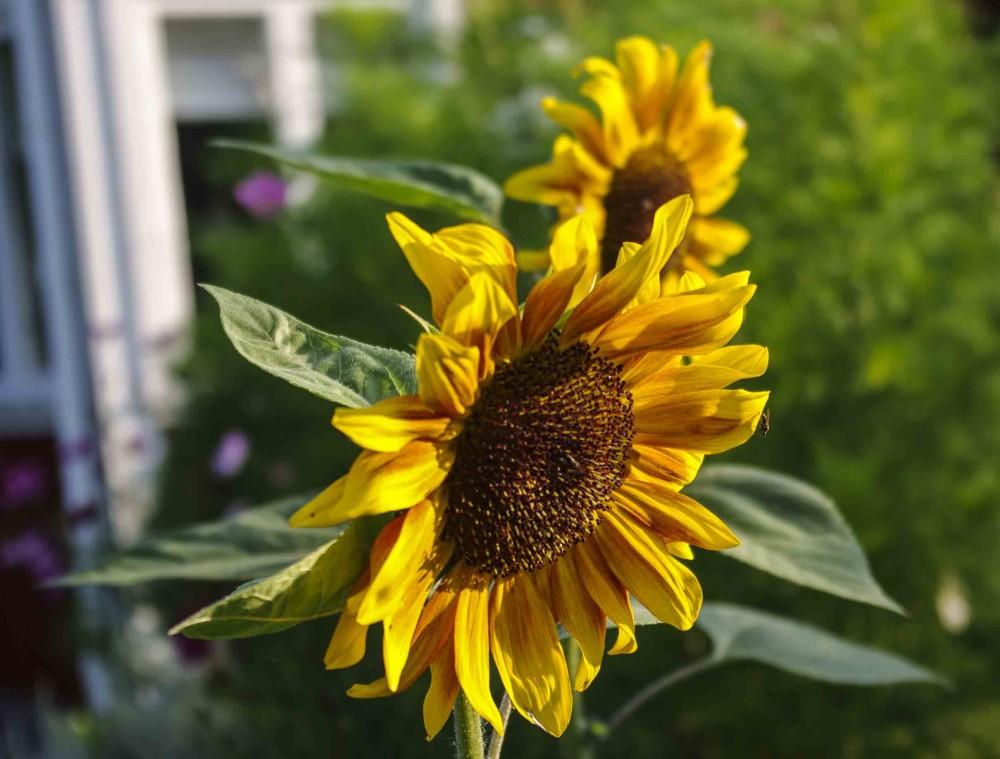 """Gul flerstammet solsikke """"Sonja"""" . Den blir ikke mere enn 120 cm høy"""