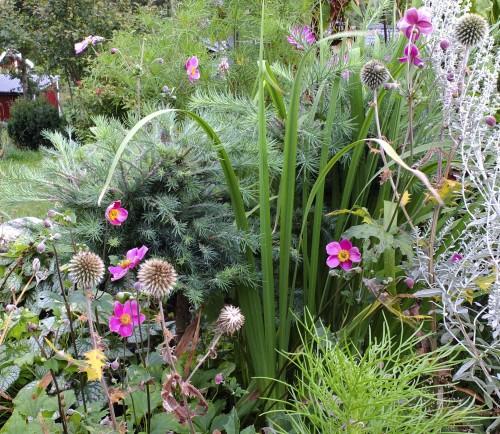 """Denne høstanemonen  Anemone hupensis, """"Hadspen Abudance"""" (tror jeg), vokser under et lite oppstammet lerketre, innimellom kuletistel, cosmos og iris. Det har vært en usannsynlig tørr sommer, men allikevel blomstrer den nå optimistisk."""