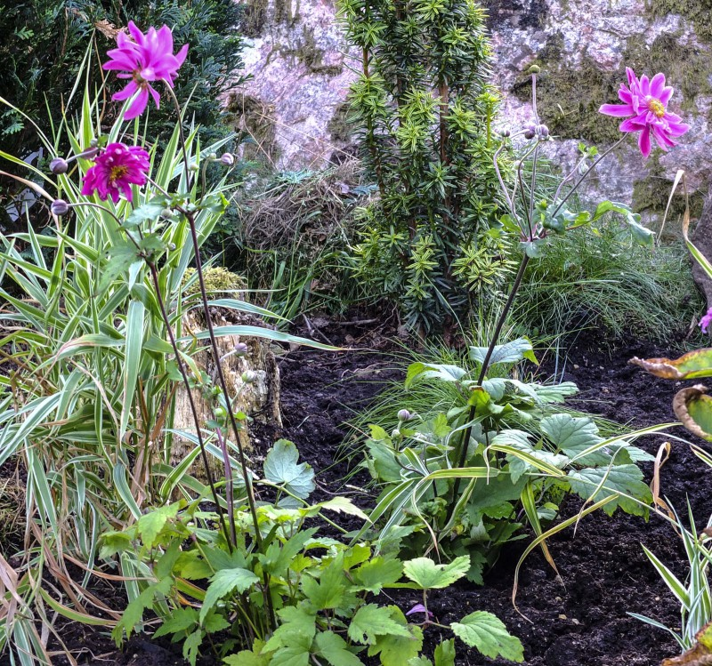 Her er en høstanemone med doble kronblader21_