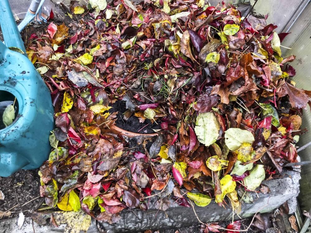Her har jeg gravd krukken med tulipanløkene ned i jorden i drivhuset (Som har utetemperatur om vinteren). Krukken er deretter dekket med et tykt lag av vissent løv for å isolere og holde på fuktigheten.