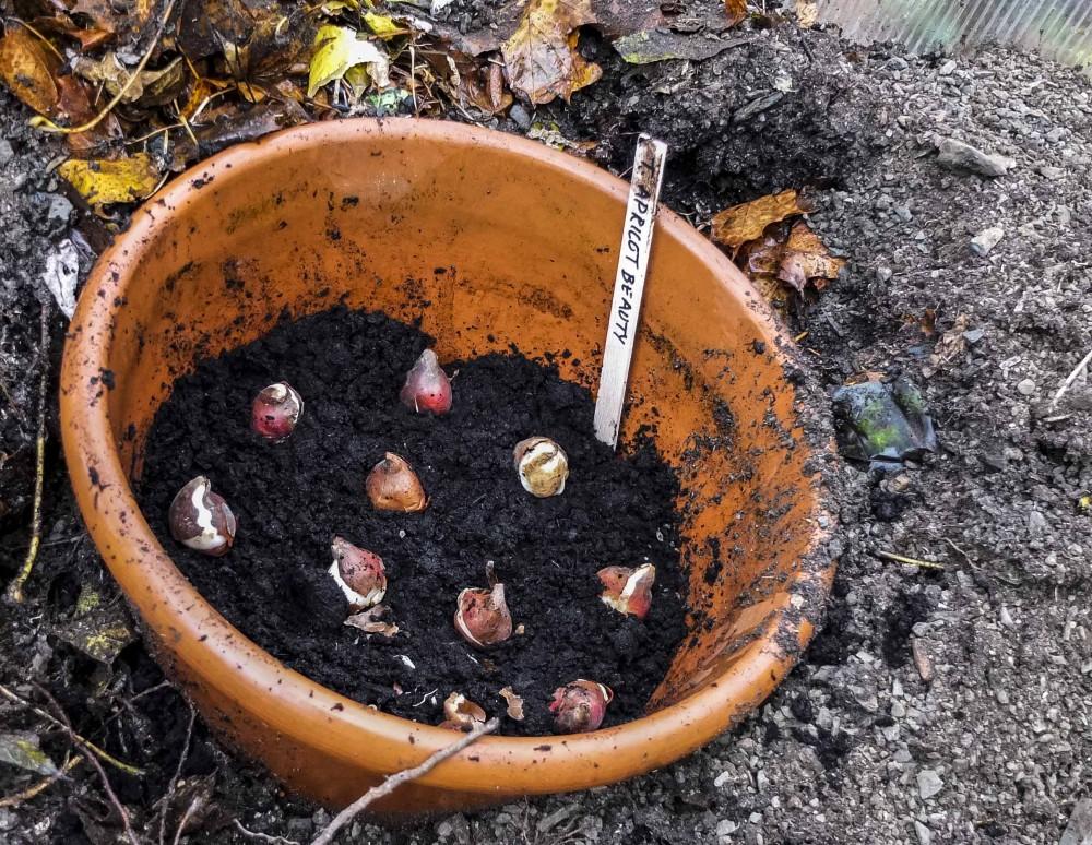 Legg tulipanløk lagvismed litt jord imellom i en krukke. Husk drenering i bunnen!