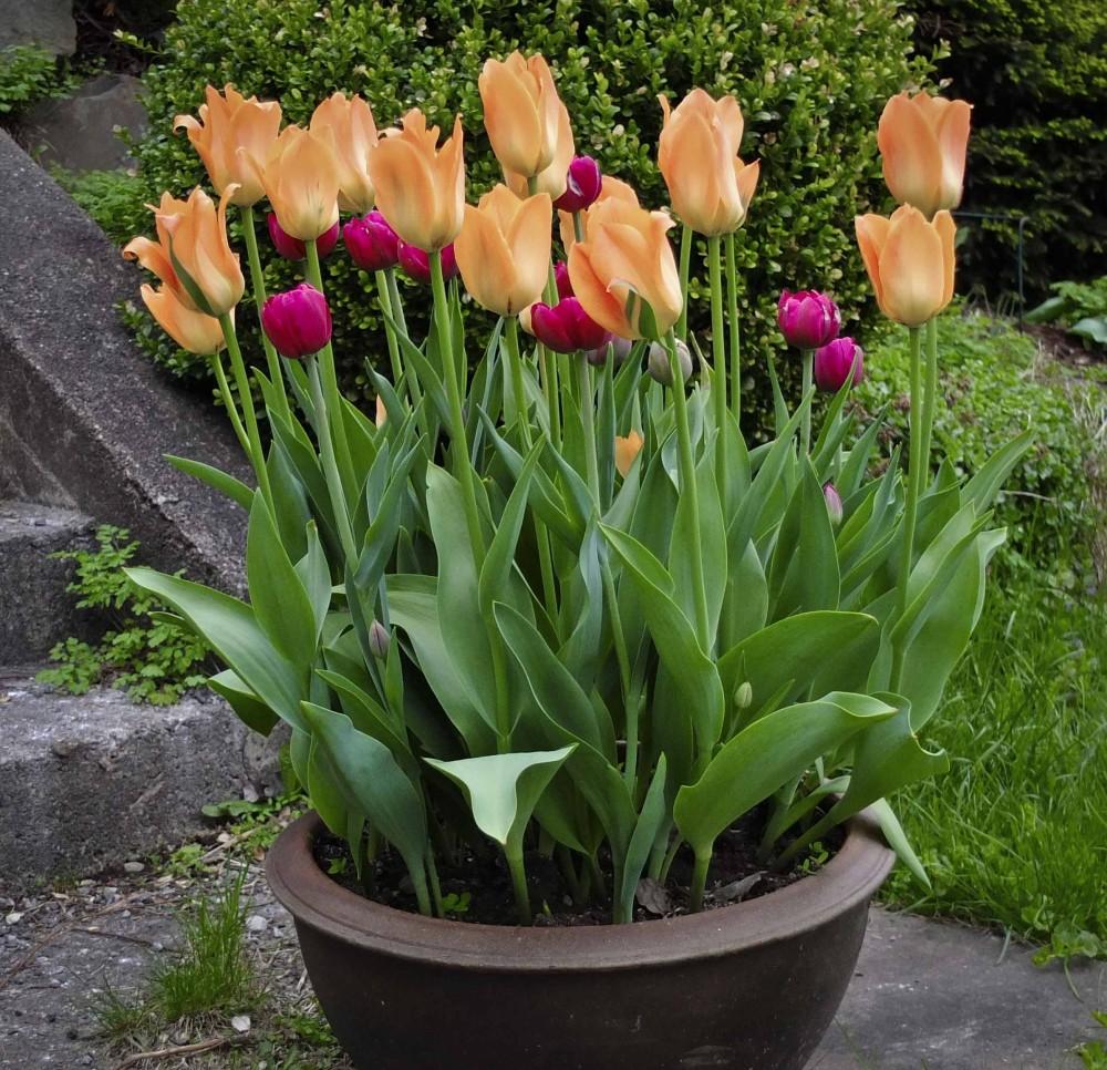 La blomsterløken visne ned på et skyggefylt sted, eventuelt ta de ut av krukkene og rotslå tulipanløken på et tørt og skyggefullt sted i hagen.
