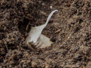 Plante kvitlauk22_