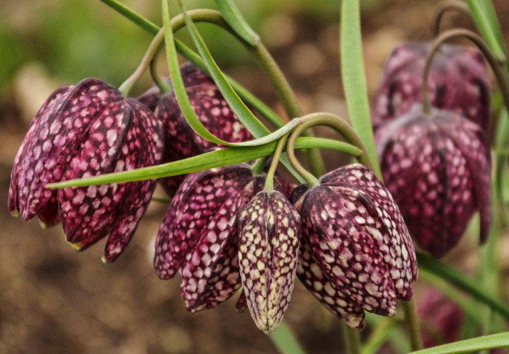 Fritillaria meleagris, Sjakkbrettlilje._
