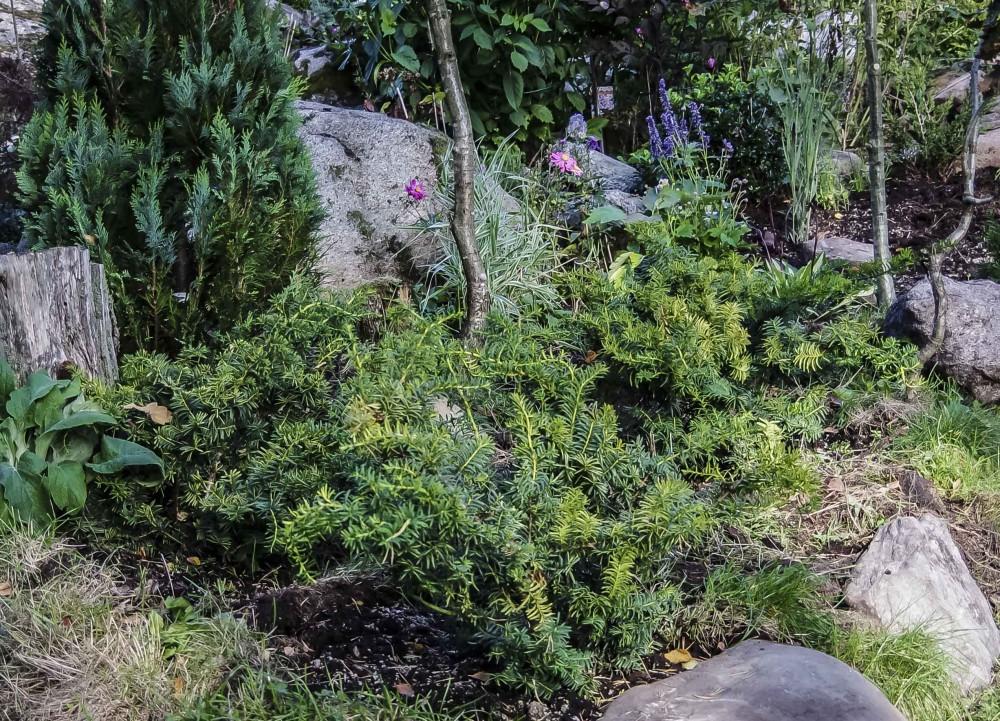 Her er det plantet tre barlind, Taxus baccata 'Summergold'. Det er halvskygge, tørt og lite jord, slik at jeg har hevet bedet litt, og fylt på med gammel gresstorv og ymse rundt buskene.