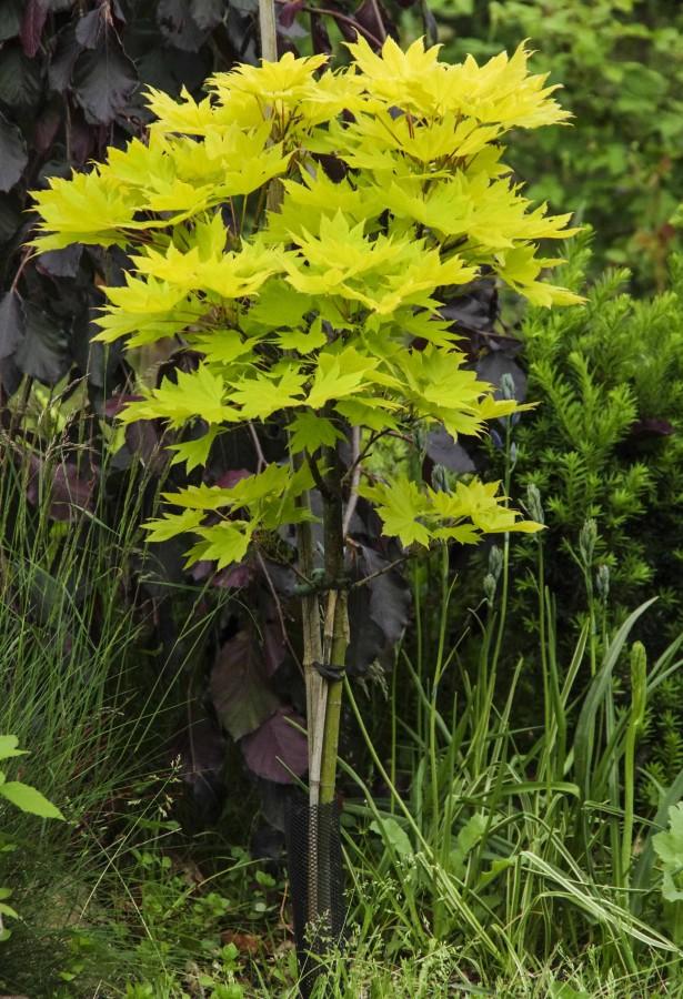 Acer shirasawanum 'Aureum'.
