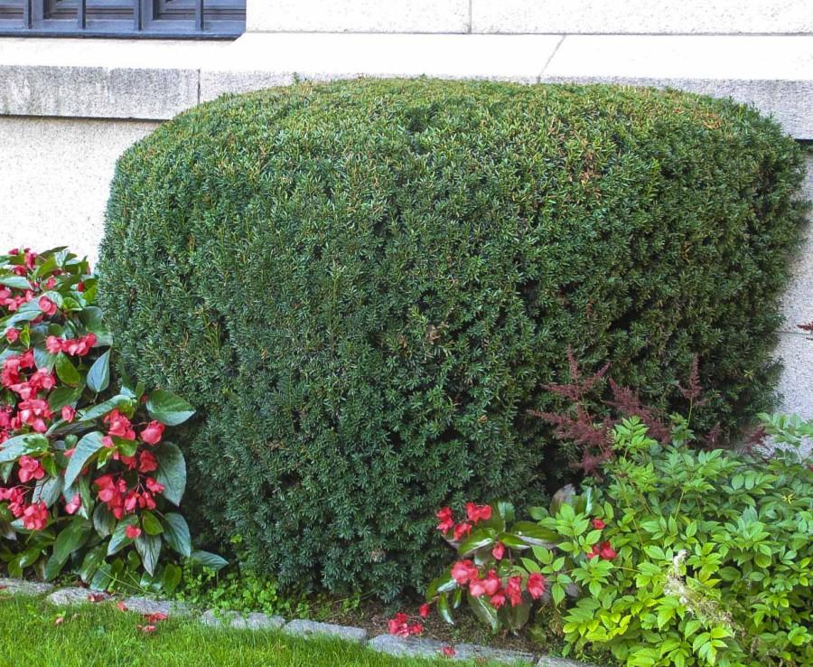 Formklippet Barlind utenfor Nobelinstituttet i Oslo