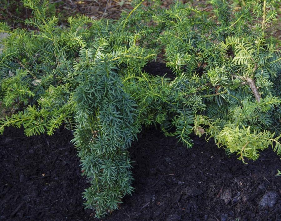 Taxus baccata 'summergold' med flat, utbredt vekst og 'Fastigiata' med søyleform nyplantet.