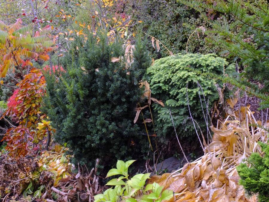 Barlind og Hemlokk i høsthagen. begge er giftige.