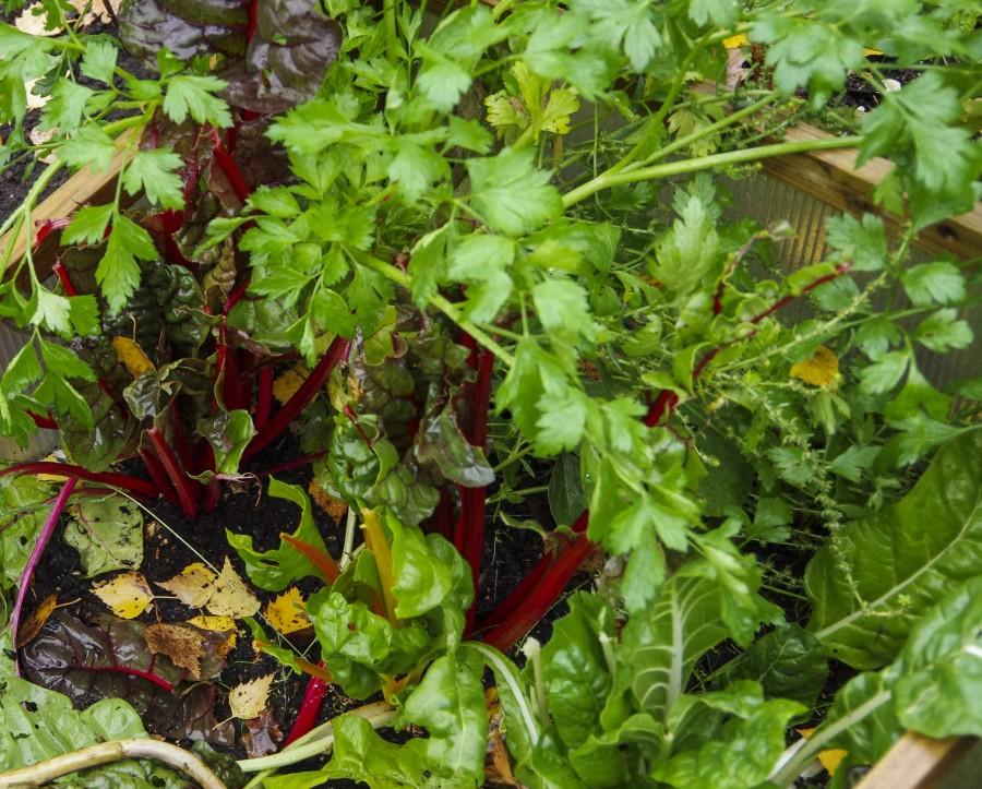 Her har rådyrene tatt et gnafs når de gikk gjennom hagen. men ikke av persillen..