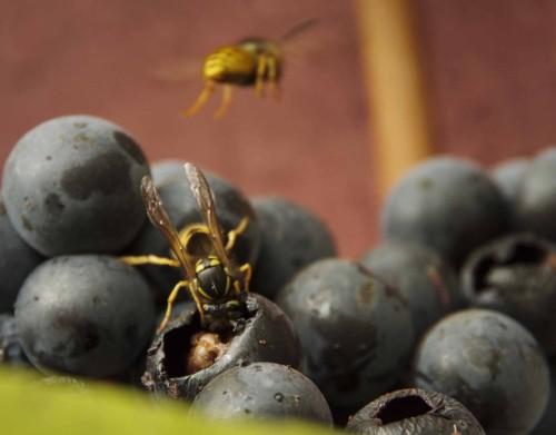 Insektene er travle med å spise ut av druene på veggen når det er vindstille.