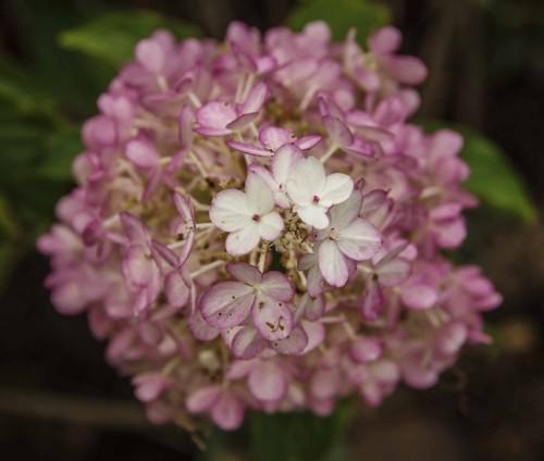 Syrinhortensia, Hydrangea Paniculata. 'Vanille-Fraise'. Den passer svært godt sammen med høstanemoner da den er mykere i fargen enn nyere sorter. Både Syrinhortensia og høstanemone liker det stabilt fuktig, gjerne halvskygge, og blomstrer på ca. samme tid.
