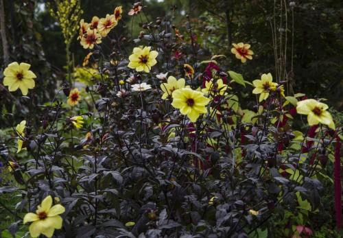 Georginene blomstrer fortsatt flott. Det vil de fortsette med til første frostnatt. Da flater de ut!