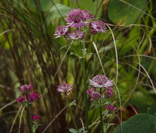 Stjerneskjerm, Astrantia 'Roma' blomstrer nå. Det må skyldes at de ble plantet i år? I bakgrunnen Carex buchananii Red Rooster.