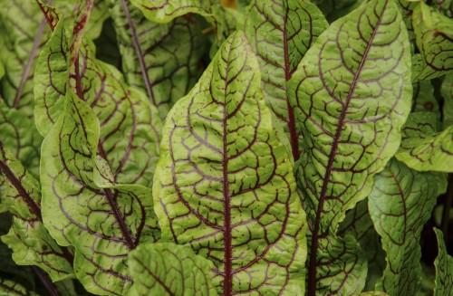 En type rødvenet syre, Rumex acetosa, har vært trofast gjennom hele sommeren. De store bladene blir siege, men de små er flotte i salaten. Vi får se om den overvintrer.