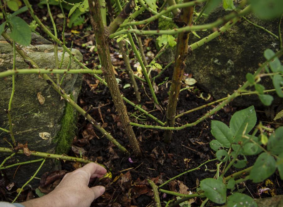 Fjern sykdomsbefengte blader under rosene. Brenn eller kast de i søppelet ikke i komposten. Remove disease infested leaves around the roses. Burn or bin the leaves.