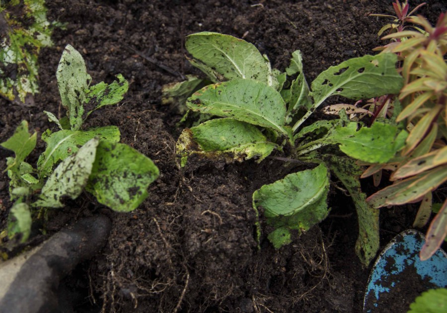 Deling av stauder. Her en Primula. Division of perennial plants.