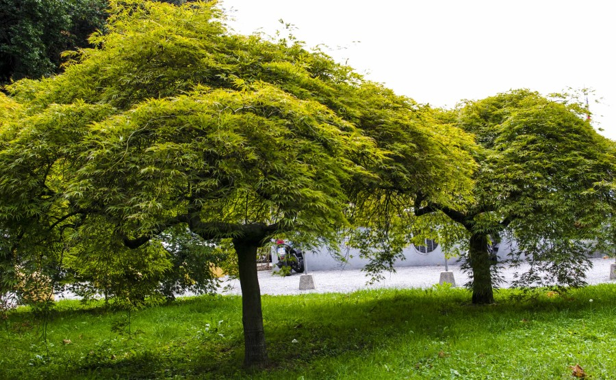 Her er japanlønn beskåret slik at de utvikler seg til små trær. Bildet tatt ved Comosjøen i Nord-Italia.
