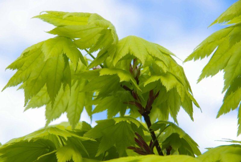 """Acer shirasawanum 'Aureum', """"Måneskinnslønn""""20_"""