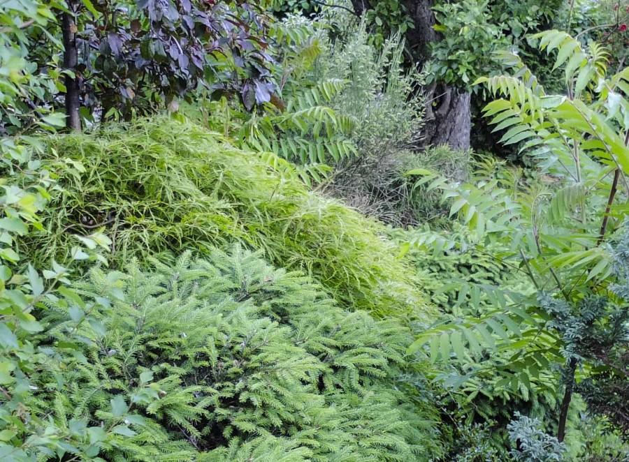 Acer palmatum dissectum, Samme tre som i forrige bilde, bare fra en annen vinkel. Bildet er tatt på sommeren.