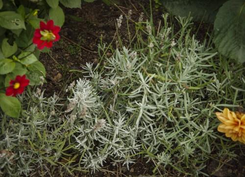 De lavendelplantene jeg plantet i vår, er mindre og ser slik ut.