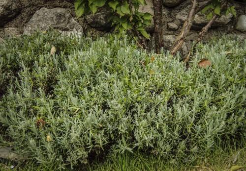 Disse plantene stod litt tørrere, slik at de stusset jeg i midten av august. Her kommer det jevnt med nye skudd.