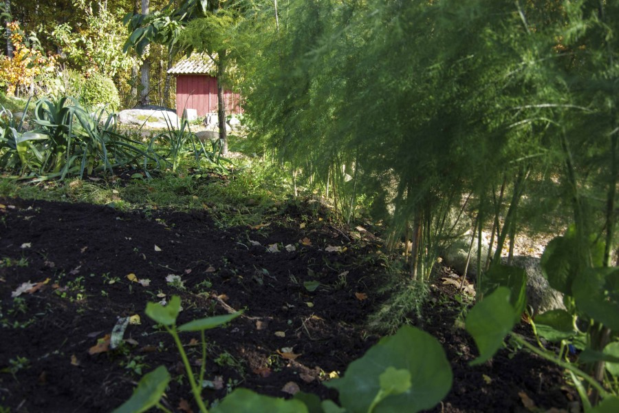 Grønnsakåkeren er delvis oppspass, delvis, raket opp, og ugresset rundt aspargesen er luket vekk.