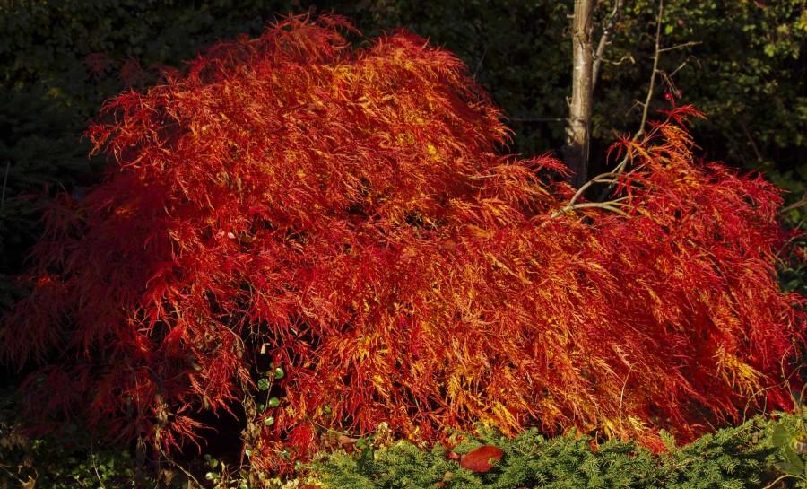 Acer palmatum dissectum. Denne lille japanlønnen som står i hagen i oslo, er vanligvis lysegrønn. Nå på høsten er den flammende orange.