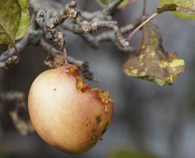 Fortsatt epler på oen av trærne, som fuglene kan spise, men det nærmer seg slutten, og det er på tide å legge ut litt mat til de igjen.