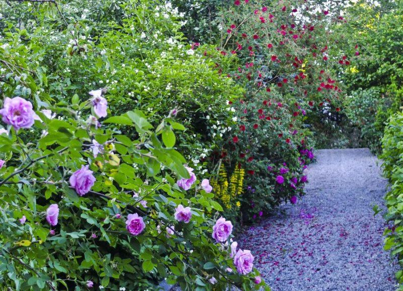 Her er gangveien opp til huset sent i juni. I front Hurdalsrose, deretter Skjærsmin, Rosa Moyesii mørk rosa er Rosa Rugosa hansa.