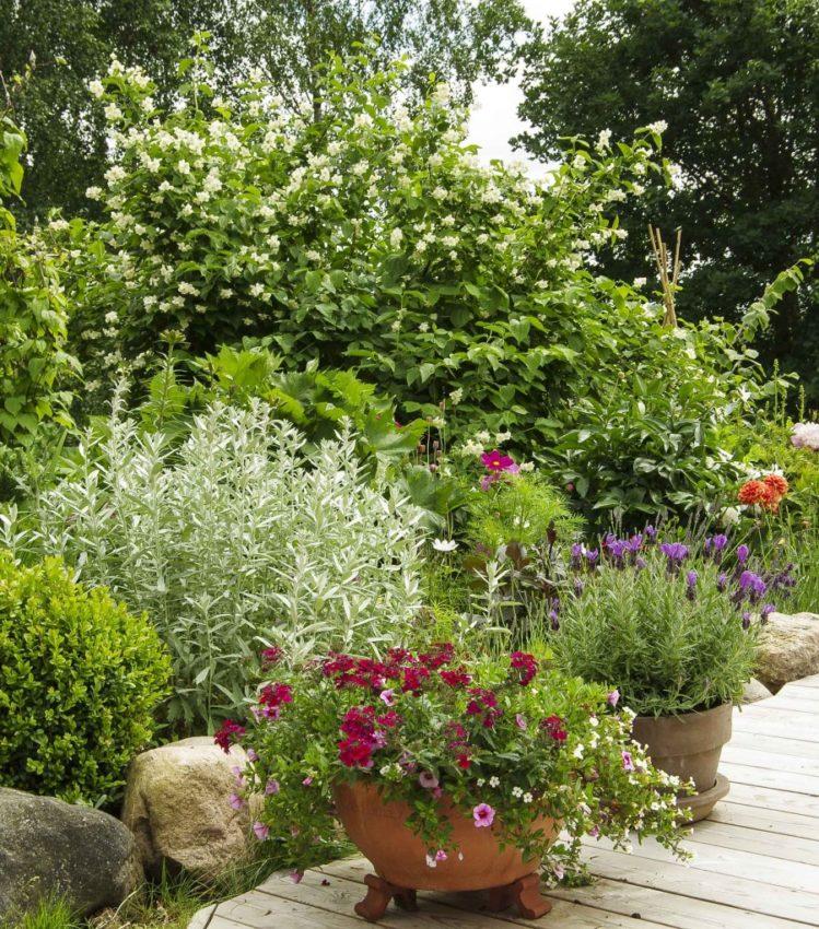 Skjærsmin er en flott busk i bakkant i et bredt staudebed