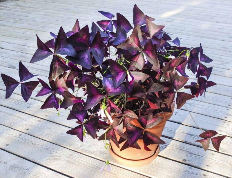 Oxalis eller Lykkekløver er en svært grafisk bladplante.