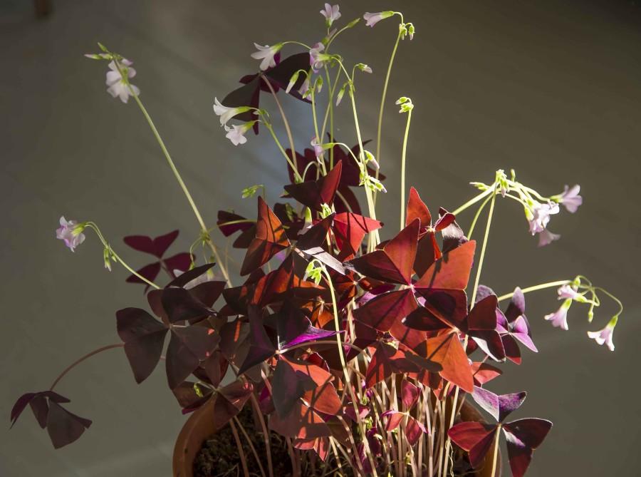 Innendørs blir planten mere stranten, men flott en måneds tid før den trenger en hvileperiode tørt, mørkt og kjølig.