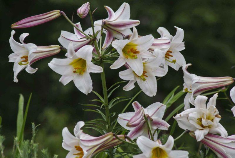 Liljer egner seg godt i vase. Elegante og grafiske.