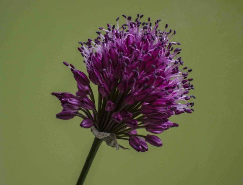 Allium finnes i alle fagenyanser av blå, lilla, hvit og noen gule. Det er stor spredning i blomstringstid.