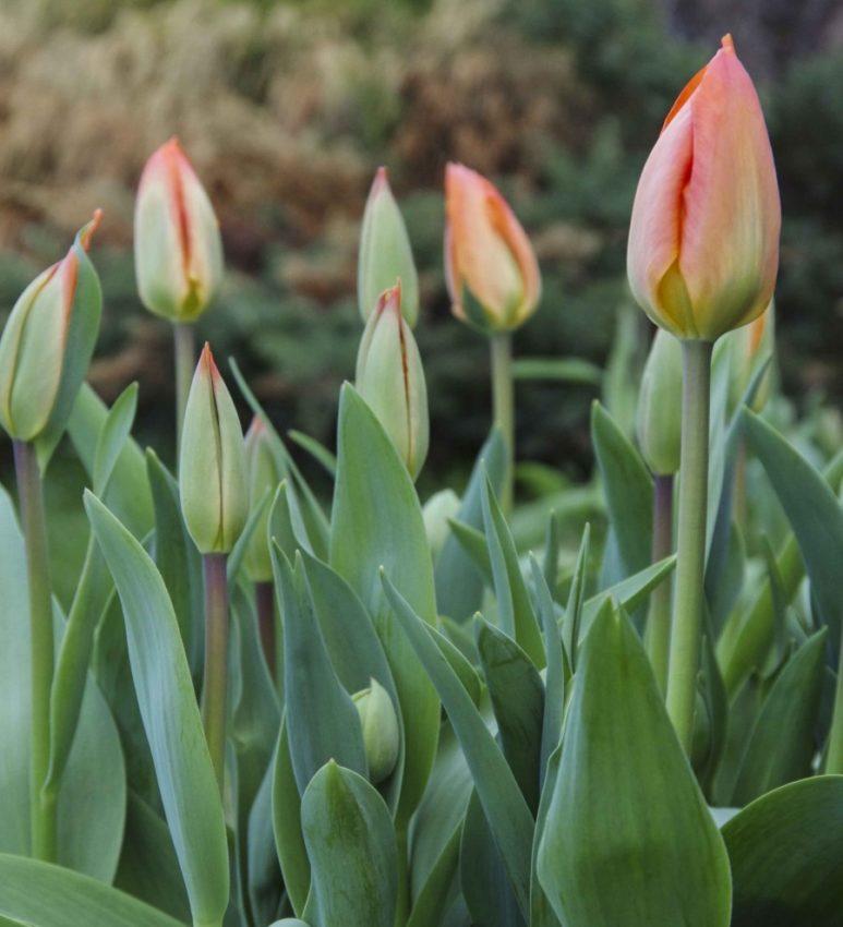 Tulipaner blir etter en dag i vase inne passe avslappede, litt løse, og alle blomstene lener seg hver sin vei.