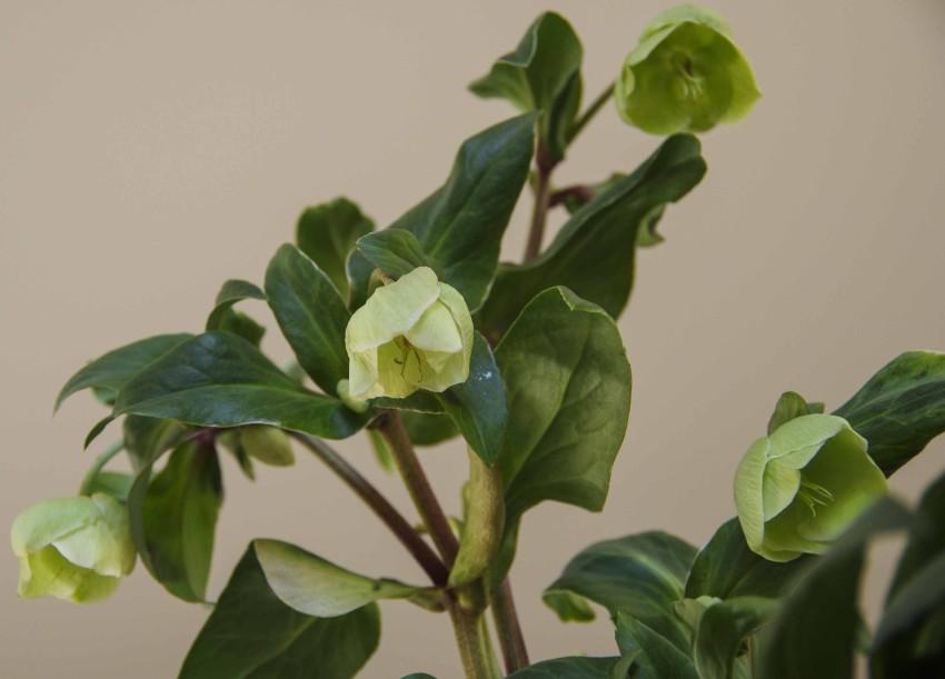 De fleste julerosene har nedovervendte blomster, om det er mulig tenk på det ved planting ute.