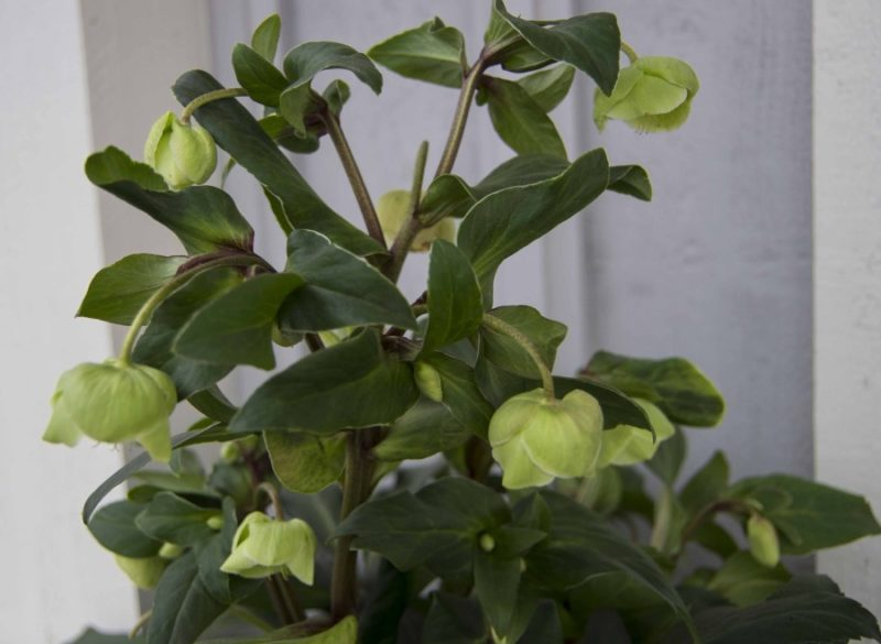 Helleborus argutifolius20_