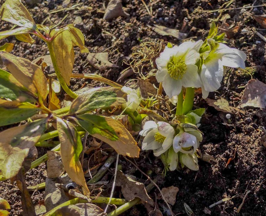 Denne julerosen blomstret sent i april i hagen min. Som du ser så er ikke bladene allverden etter fjorårets iskalde vår.