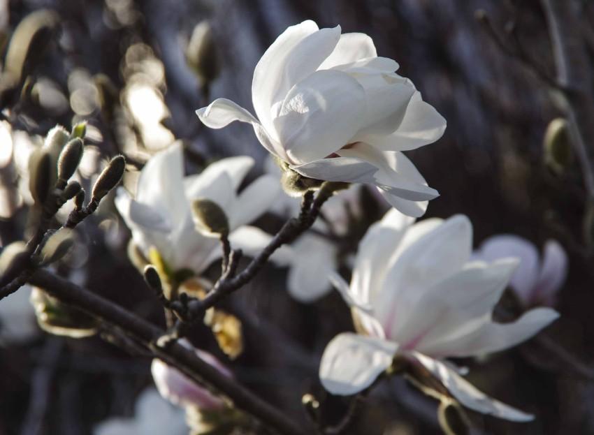 Hvit magnolia plantet foran huset ditt sies å gi stor tilfredstillelse i livet. Denne stjernemagnoliaen  blomstrer i mai i hagen min i Oslo.
