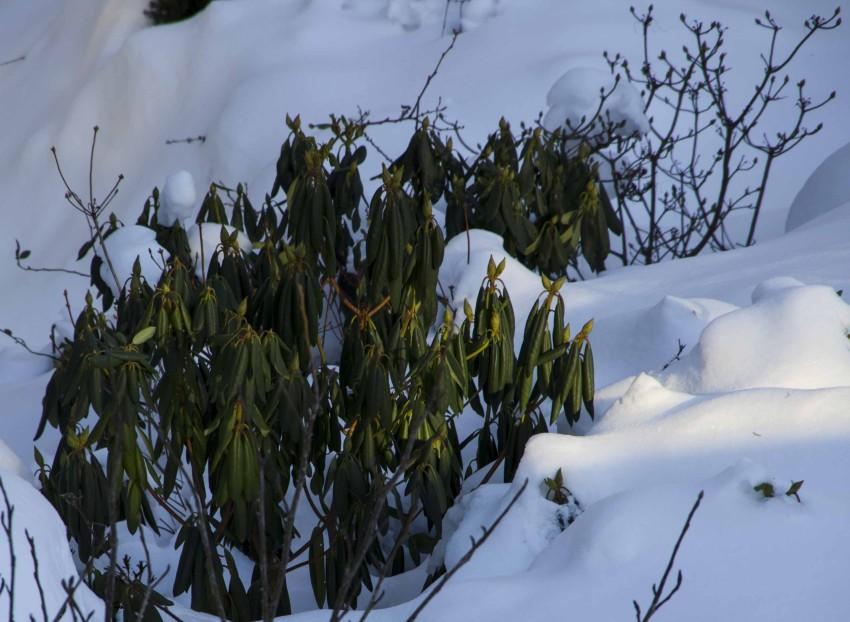 Bladene på rhododendronen er krøllet sammen for å beskytte seg mest mulig mot kulde og uttørking.  Bladene glatter seg ut igjen ved mildvær og regn.