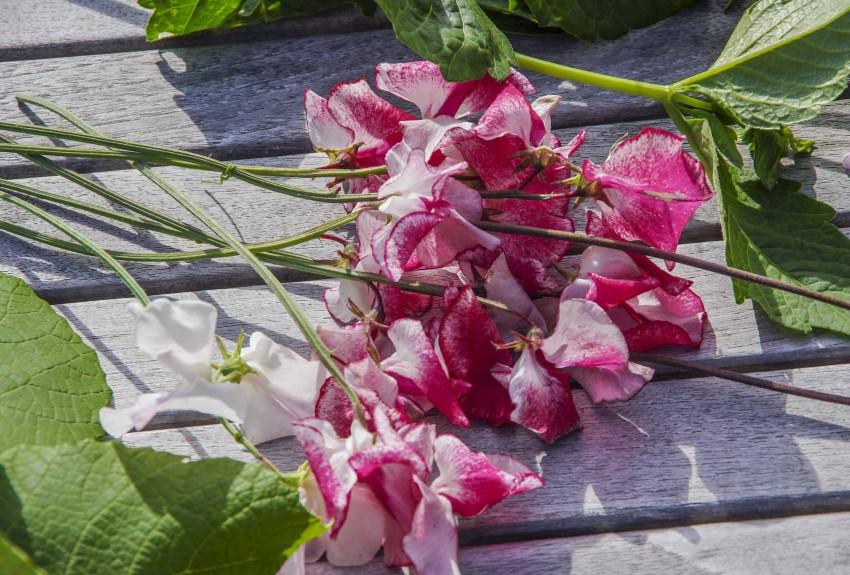 """Gjennomgå frøkataloger og planlegg innkjøpene. Erteblomster egner seg veldig godt til til snittblomster. De står en stund, og de dufter deilig. dette """"Wiltshire Ripple"""""""