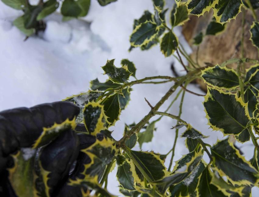 Rist av snø som legger seg på busker og trær. noen eviggrønne som kristtorn og rhododendron har sprøgreiner og ødelegges lett av snøfall.