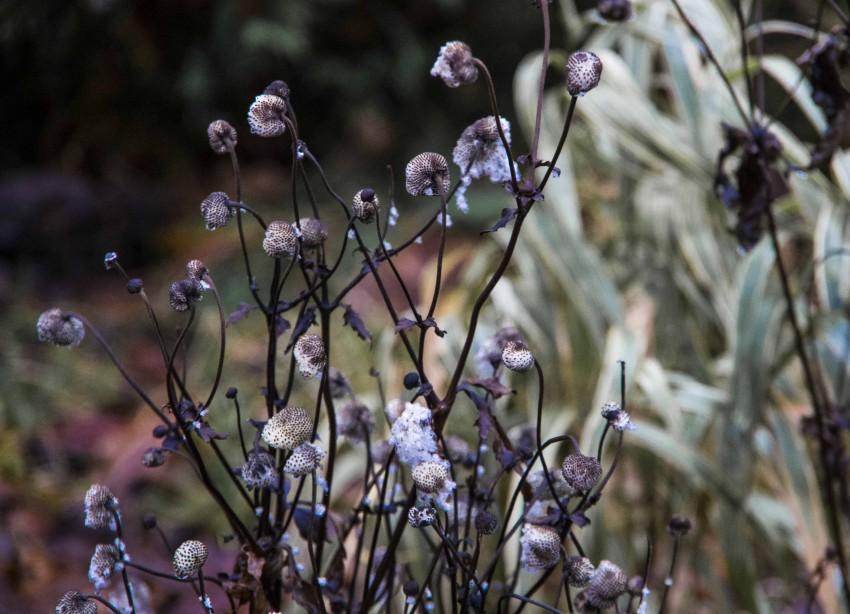 Høstanemonen i desember.