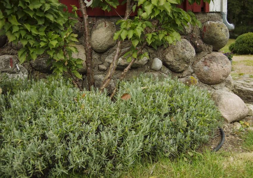 Slik så lavendelen på sydveggen ut i september, etter at jeg hadde klippet vekk blomsterstilker.