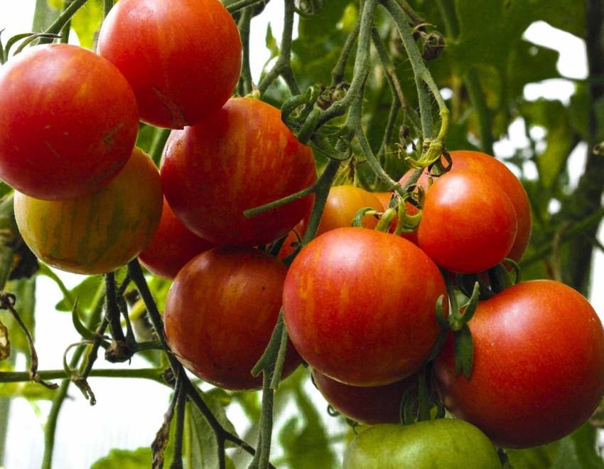 Tigerella, en tomatsort med gulorange striper, bærer rikt og ikke antydning til sprekking (i samme drivhus som Gardener`s Delight).
